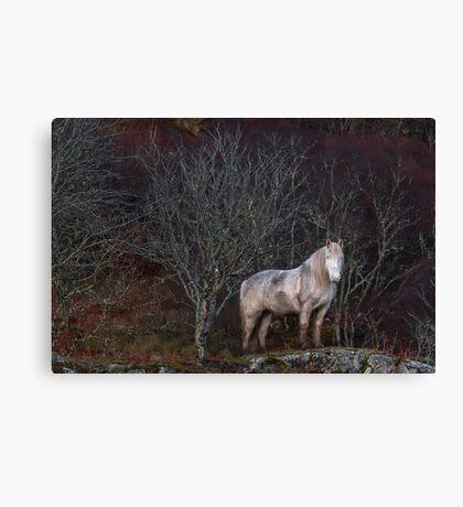 Scottish Highland Pony Canvas Print