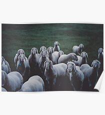 Sheep gang landscape animal photography Poster