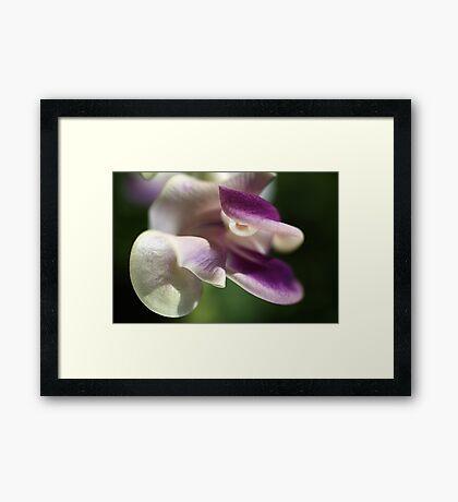 Corkscrew Flower  Full Bloom Framed Print