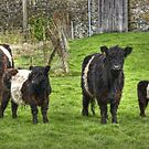 Belted Galloways.. by Jamie  Green
