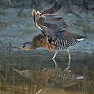 Clapper Rail by SuddenJim