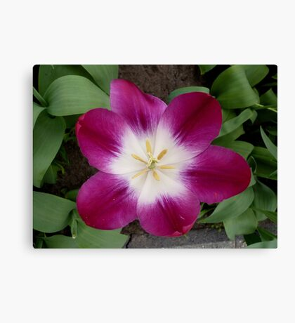 Purple tulip showing a bright heart Canvas Print