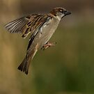 House Sparrow by M S Photography/Art