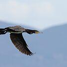 Cormorant in flight over Lago Trasimeno, Umbria, Italy by Andrew Jones