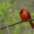 Cardinal in Spring by Heather Pickard