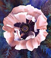 «Oriental poppy (Patty's Plum?)» de Jacki Stokes