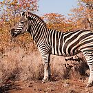 Zebra at Timbavati Road, Kruger National Park, South Africa by Erik Schlogl