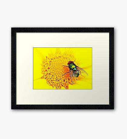 Green Bottle Fly on Yellow Flower Framed Print