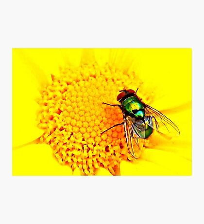 Green Bottle Fly on Yellow Flower Photographic Print