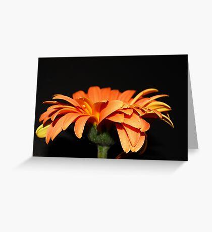 Gerbera Daisy......on black.... Greeting Card