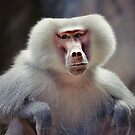 hamadryas baboon  by roger smith