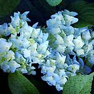 Hydrangea ~ Rainy Day Blues by SummerJade