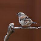 Sparrow by Macky