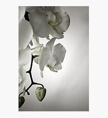 Orchid in White Photographic Print