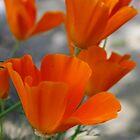 California Poppy on Vancouver Island BC Canada by AnnDixon