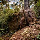 Octopus Tree, Mt Wellington, Tasmania by Chris Cobern