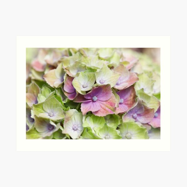 Hydrangea Dream - Hydrangea Dream Art Print