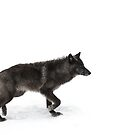 Black Wolf by Jim Cumming