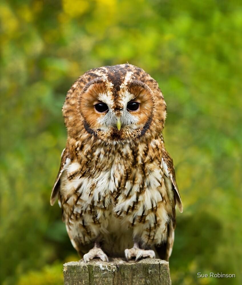 Tawny Owl full length by Sue Robinson
