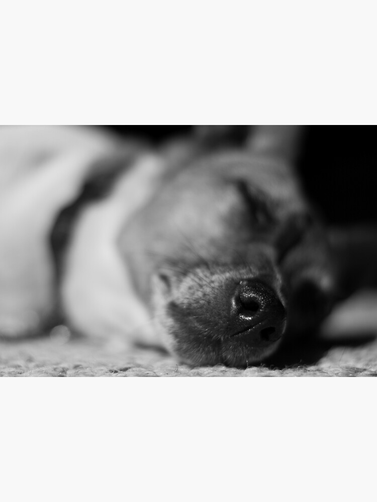 Sleeping Jack Russell  by daveriganelli