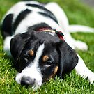 Puppy in the grass by Dave Riganelli