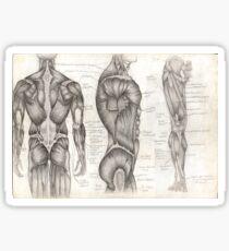 Human Anatomy 1 Sticker