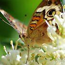 Butterfly album, butterfly Nr.1 by loiteke