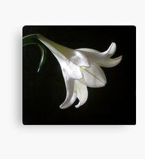 Lily (Longiflorum) Canvas Print