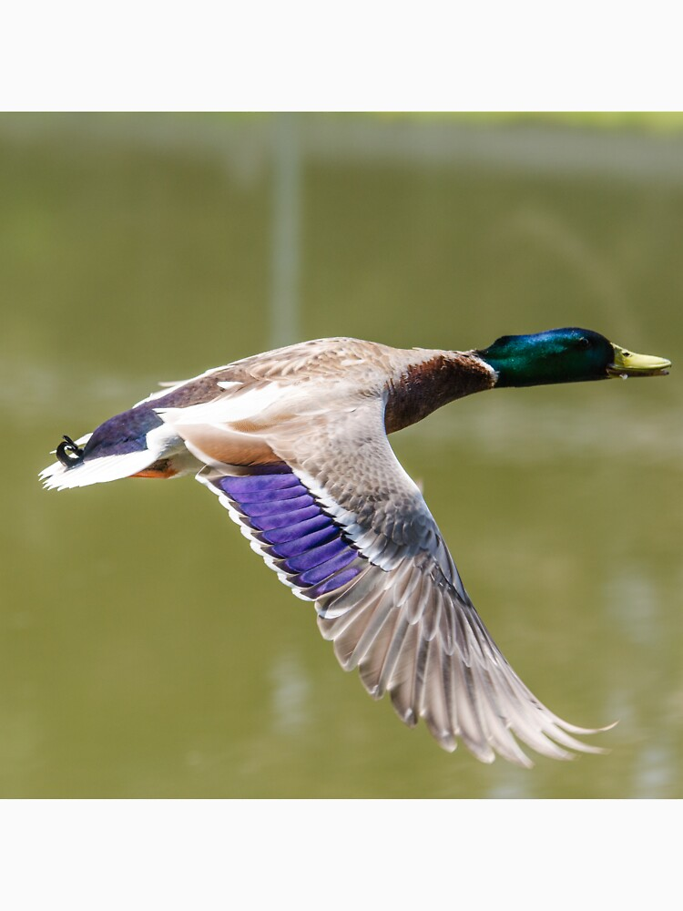 Duck in flight by daveriganelli