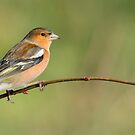 Chaffinch by M S Photography/Art