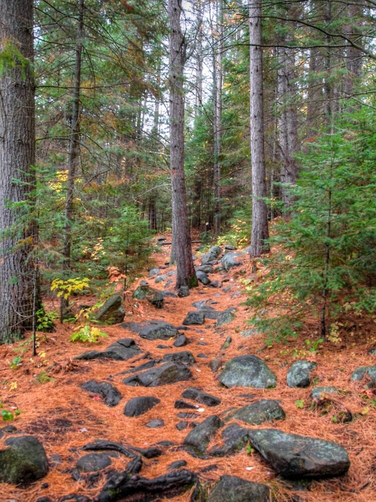 Rocky path through the pine forest by daveriganelli