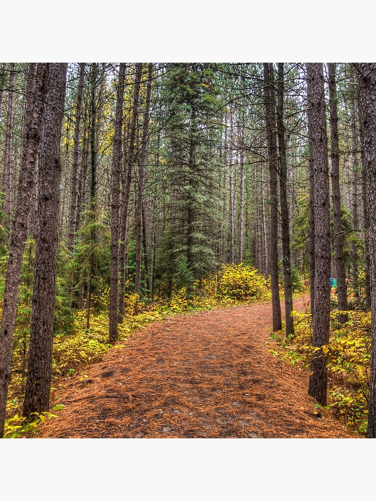 Path between the pines by daveriganelli