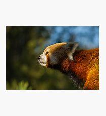 Red panda nose Photographic Print