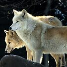 Two young wolves  by steppeland