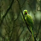 Green Ringnecked Parakeet by steppeland