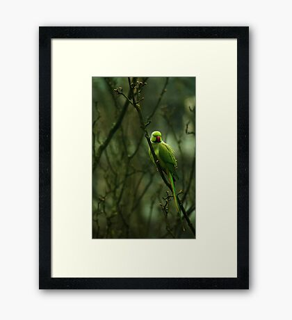 Green Ringnecked Parakeet Framed Print