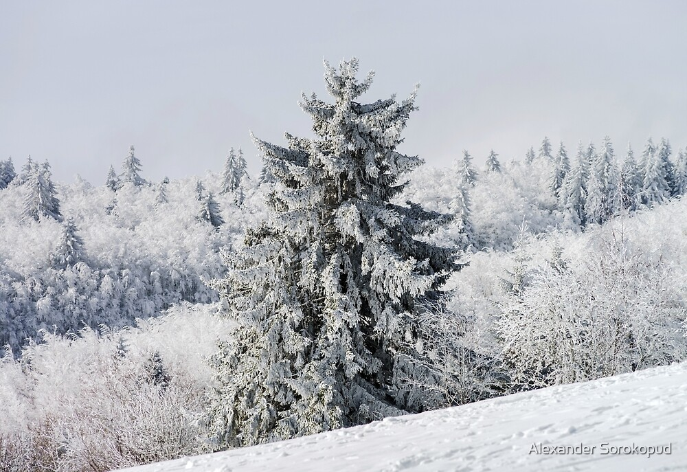 Beautiful snow-covered fir trees in winter forest, french mountains by Alexander Sorokopud