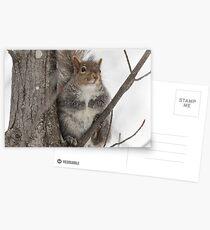 Grey squirrel in a tree Postcards