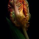 One tulip by EbyArts