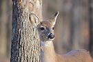 Gorgeous White Tale Deer by NatureGreeting Cards ©ccwri