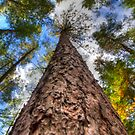 Tall Pine by Dave Riganelli