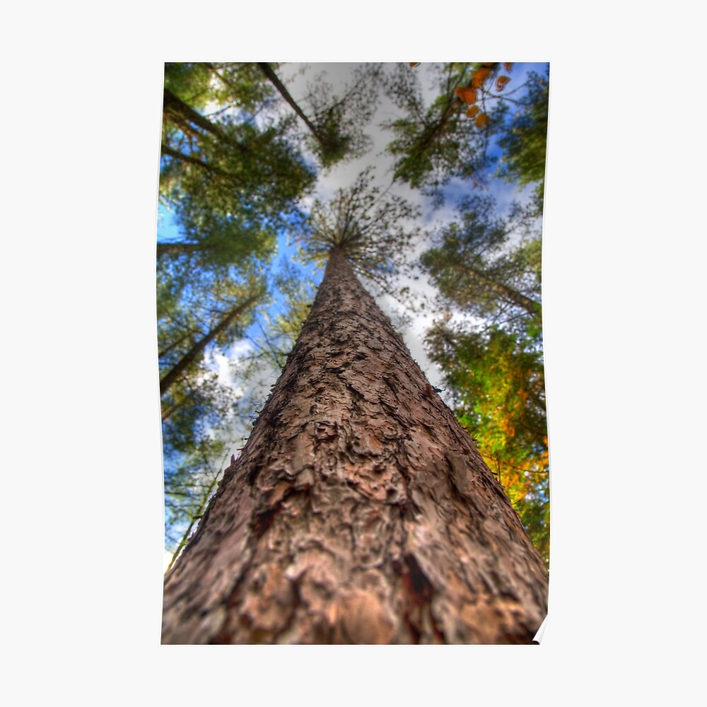 Tall Pine Poster