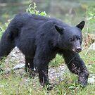 Black Bear Sow by Jim Stiles