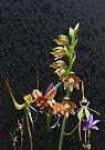 Native Australian Orchids Dunsborough 1 by Leonie Mac Lean