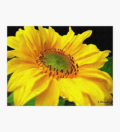 Helianthus Photographic Print