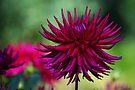 Purple Passion by John Dalkin