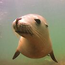 Australian Sea Lion by salsbells69