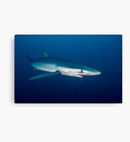 Blue Shark, South Africa Canvas Print