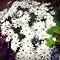 Daisy, Daisy - Gorgeous flower Cards*