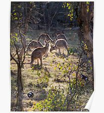 Kangaroos and Magpies - Canberra - Australia Poster